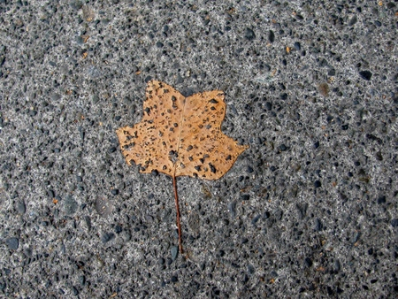 Disintegrating tulip tree leaf Stock Photo