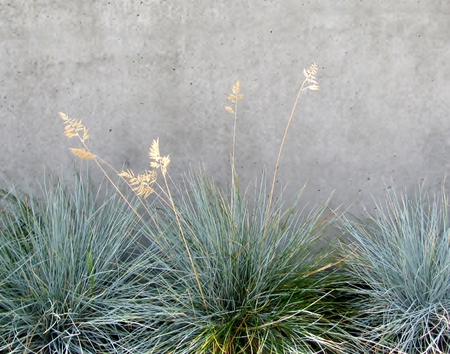 Decorative grass Blue Fescue, tufts of grass, against concrete wall