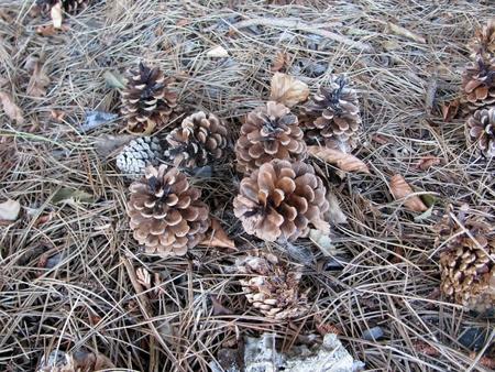 Pine cones, needles and spiderweb. BC, Canada