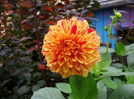 Beautiful yellow and red dahlia in a garden Stock Photo