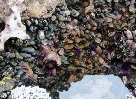 Sea urchins, sea anemones and mussels at Botanical Beach in low tide, Vancouver Island, British Columbia, Canada Stock fotó - 101802413