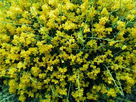 Hairy Greenweed (Genista pilosa) flowering Stock Photo