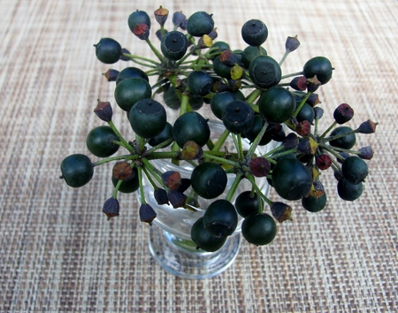 Hedera hibernica or Atlantic ivy or Irish ivy berry brunches in clear glass