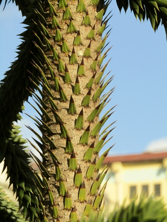 Auracaria araucana or monkey puzzle tree trunk