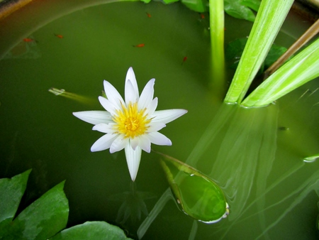 White water lily and tiny red pond fish