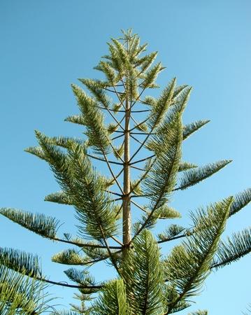 New Caledonia or Norfolk Island Pine