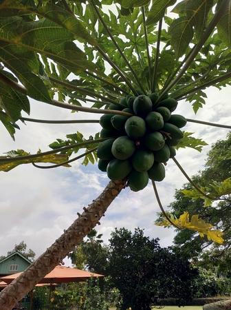 Carica papaya, papaw or pawpaw growing on tree