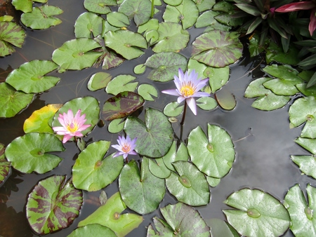 Beautiful blooming pink and purple water lilies on the water surface