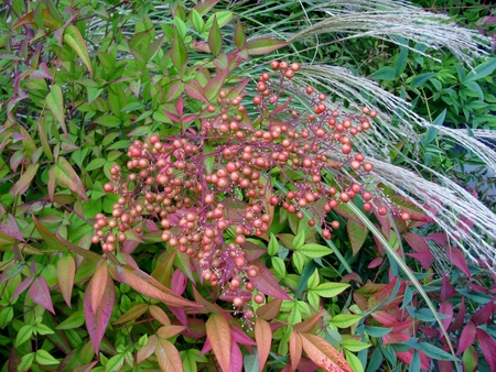 Heavenly Bamboo or Nandina shrub and Chinese Silver Grass
