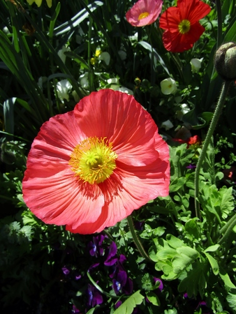 Red poppy flower with yellow centre in garden. Stock fotó