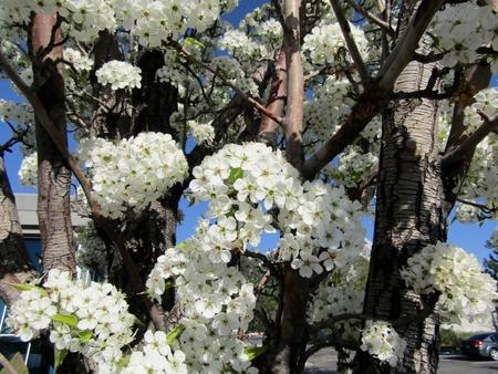 Flowering pear trees in spring. Salt Lake City. Imagens
