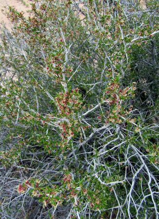 Littleleaf Mountain Mahogany or Cercocarpus shrub in Utah, USA Imagens