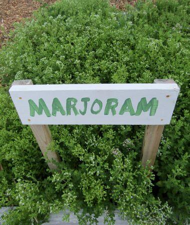 Marjoram plants growing growing in vegetable garden. Zdjęcie Seryjne