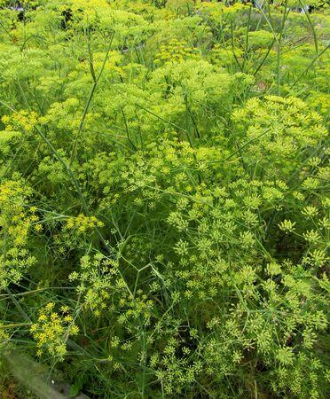 Dill plants growing in vegetable garden.