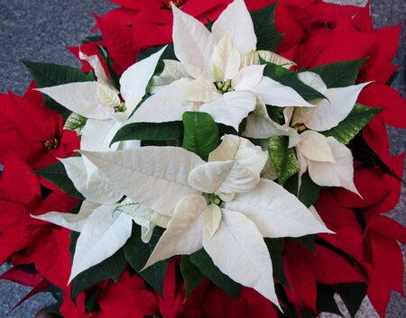 Close up of white and poinsettia plants bloom Stock fotó