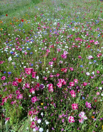 Beautiful cornflowers and poppy wildflowers meadow