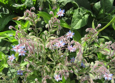 Borage or Borago officinalis, also known as a starflower plant, in the garden