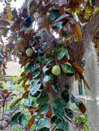 Star apple or Chrysophyllum cainito fruit tree Stock Photo