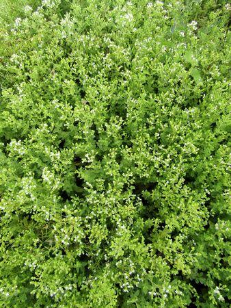 Flowering Marjoram plants background