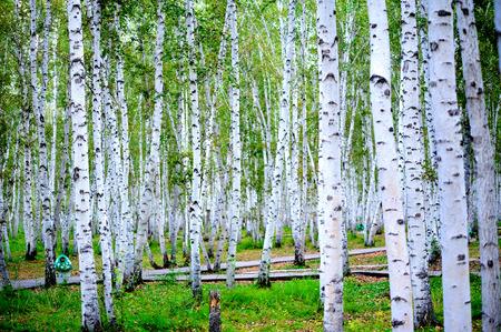 흰색 자작 나무 숲