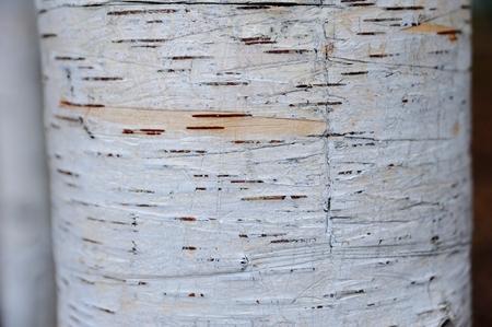 environmentalists: Birch bark