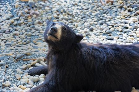 black bear: Black bear specimens Stock Photo