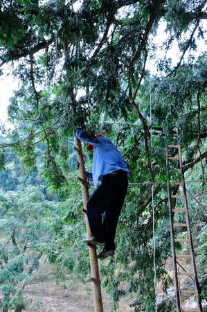 dioecious: Picking of torreya grandis