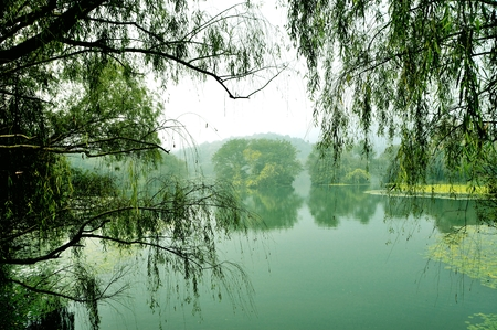 willows: Morning and the shore of West Lake willows