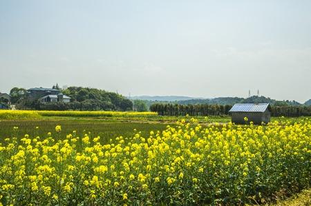 farmhouses: Rape fields and farmhouses