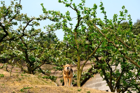 Pear tree of pastoral dogs
