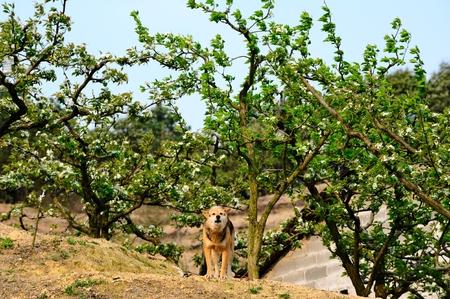 Perenboom pastorale honden Stockfoto