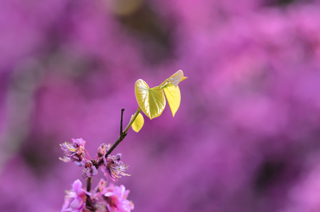 strong growth: Cercis chinensis leaves