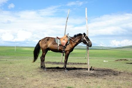 mongolia horse: Hulun Buir grassland standing horse