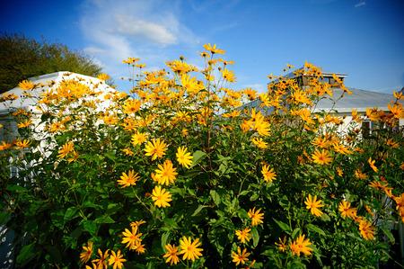 flowers sun: Mongolia tribal Sun flowers