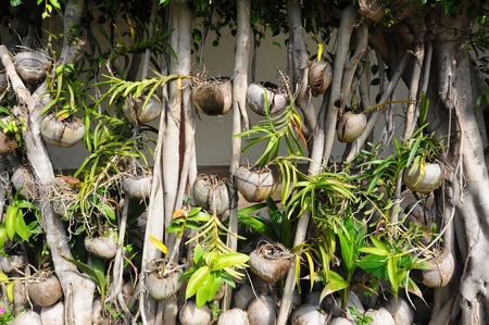 coconut seedlings: Old coconuts and coconut palm seedlings Stock Photo