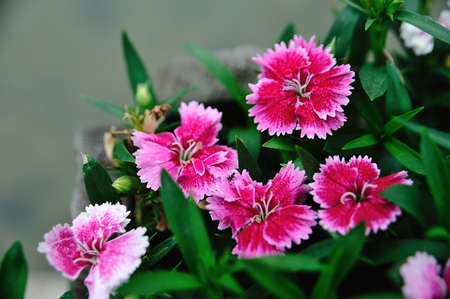 pinks: Pink flower