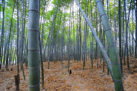 loess: Bamboo forest