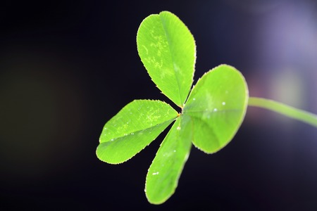 oxalidaceae: Four-leaf clover