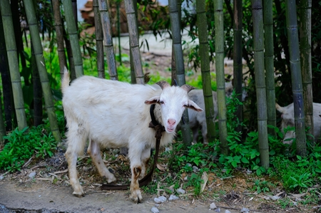 animal husbandry: The goat in the bamboo forest