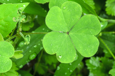 villus: green Clover after the rain