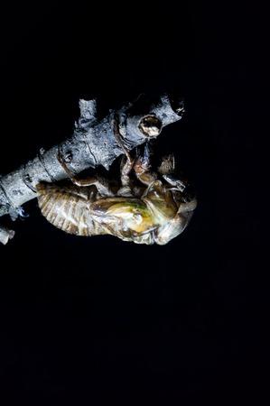 animal vein: cicada
