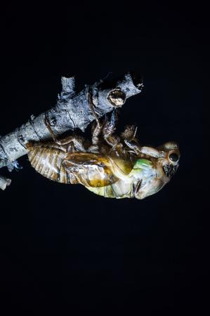 shelling: Cicada shelling Stock Photo
