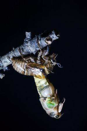 shelling: cicada shelling