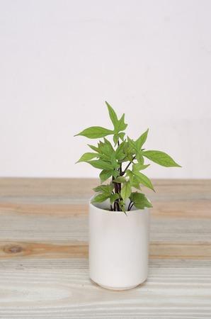 thriving: Desktop potted seedlings of sweet potato leaves Stock Photo