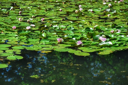 water cress: A pool of water lilies