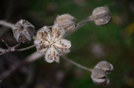 stellate: Hibiscus fruit seed