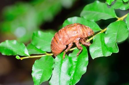 The cicada Stock Photo