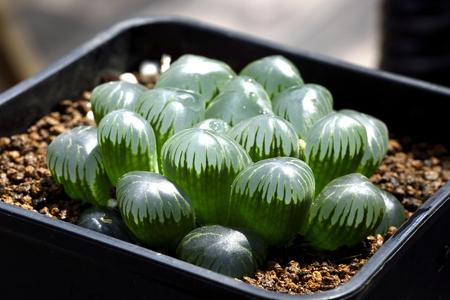 Succulents plant Stock Photo