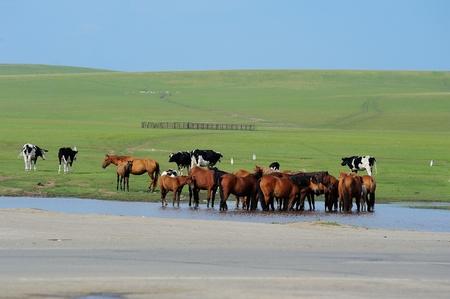 Caballos que beben en la pradera