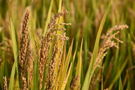 The golden grain